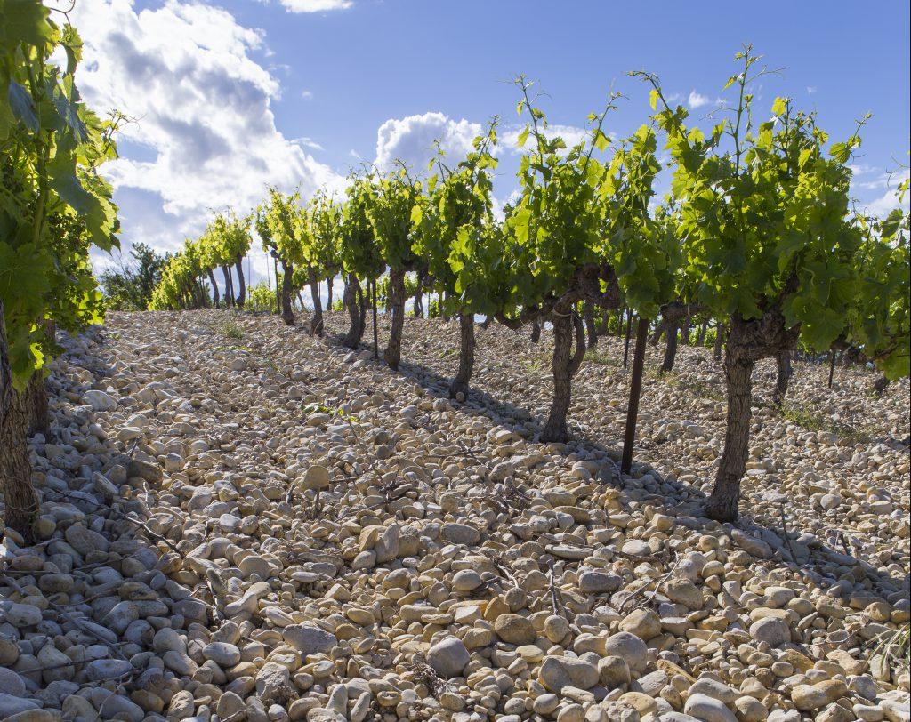 Row of vines on stony soil