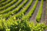 vineyards leaves