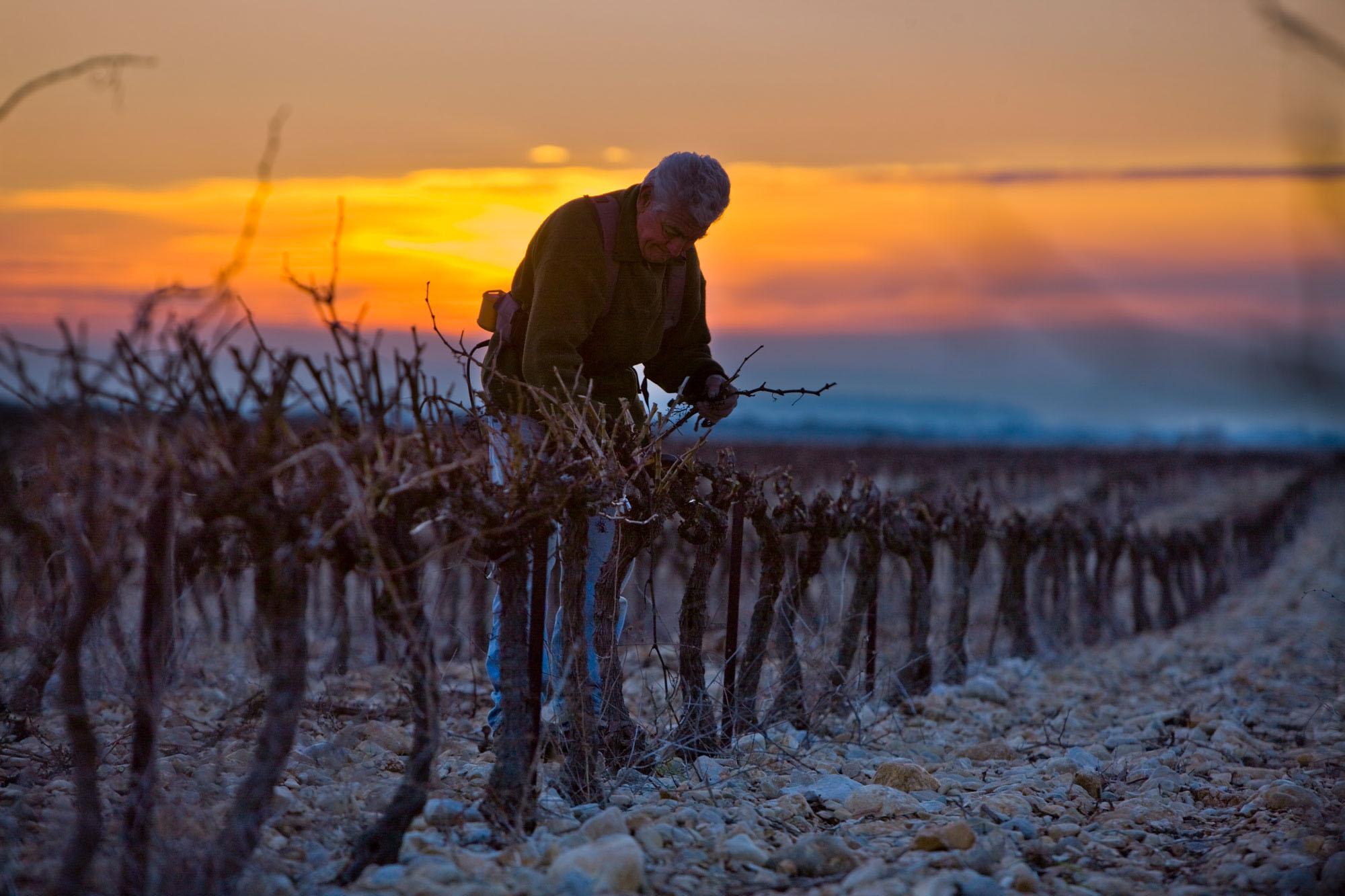 winegrower in vineyard, sunset