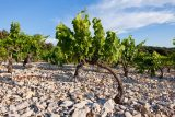 vines on stony soil